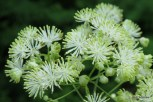 Photo of Tall Meadow-rue