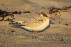 Photo of Least Tern (juvenile)