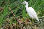 Photo of Little Blue Heron (juvenile)