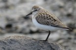 Photo of Semipalmated Sandpiper (juvenile)