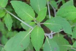 Photo of Spotted Touch-me-not leaves