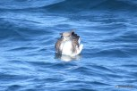 Photo of Cory's Shearwater