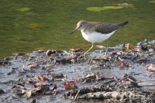 Photo of Solitary Sandpiper