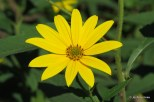 Photo of Tuberous Sunflower