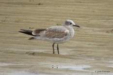 Photo of Laughing Gull