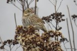 "Photo of ""Ipswich"" Savannah Sparrow"