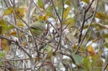 Photo of Orange-crowned Warbler