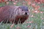 Photo of Woodchuck