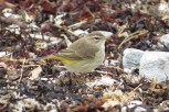 "Photo of ""Western"" Palm Warbler"