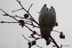 Photo of Pine Grosbeak