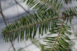 Photo of Balsam Fir twig (above)