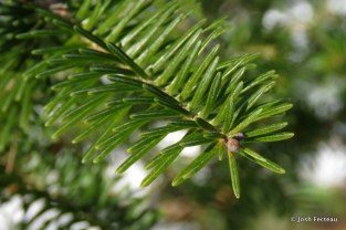 Photo of Balsam Fir twig (side)