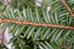Photo of Eastern Hemlock needles (undersides)