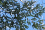 Photo of Eastern Hemlock sky