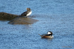 Photo of Hooded Mergansers