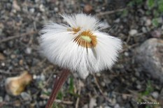 Photo of Coltsfoot seeds