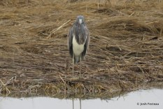 Photo of Tricolored Heron