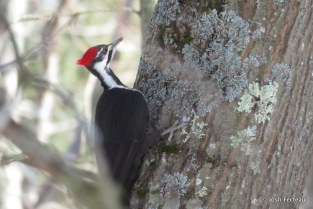 Photo of Pileated Woodpecker (female)