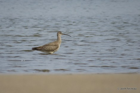 Photo of Whimbrel