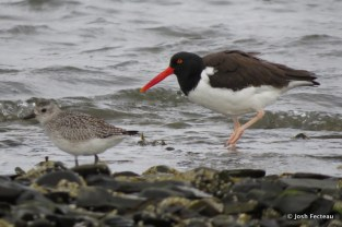 Photo of American Oystercatcher (right) and Black-bellied Plover