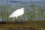 Photo of Little Egret (16 Aug 2016)
