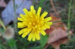 Photo of Fall-dandelion flower