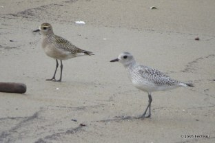 Photo of American Goldon-Plover (left) and Black-bellied Plover