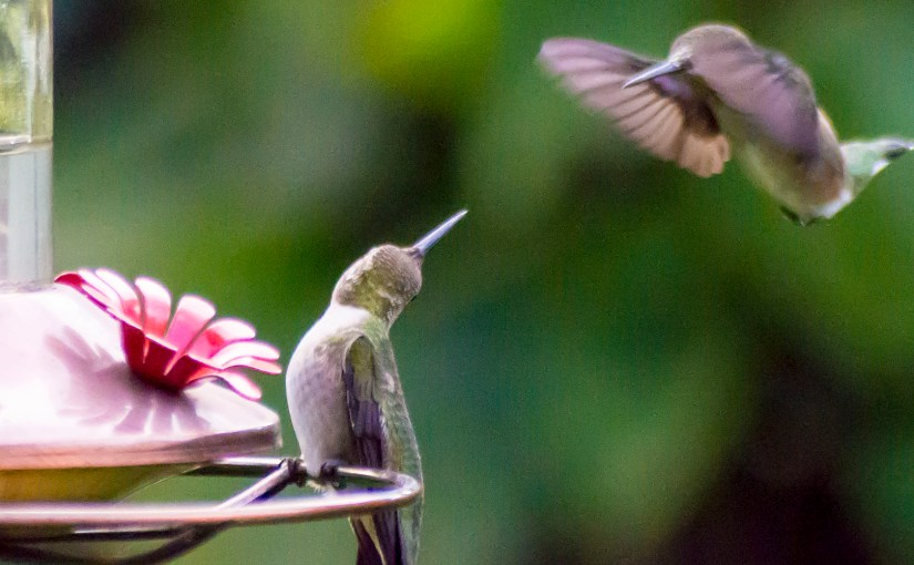 Boss Hummingbird