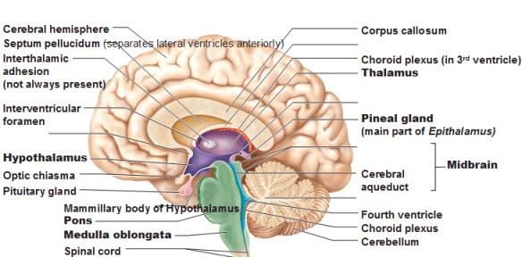 source:  http://antranik.org/the-diencephalon