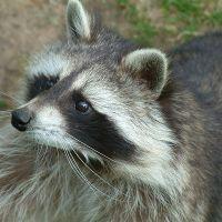 11 Fun Raccoon Facts