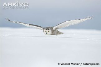 Female-snowy-owl-flying-low-over-the-ground