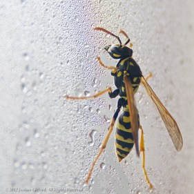 Wasp Drinking Water off a Window