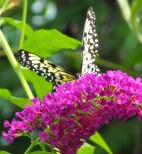 Black Speckled White Butterfly on Pink Flower