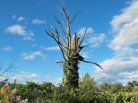 Dead Tree in a Field