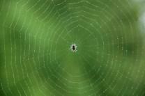 Spider on Damp Web