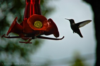 Humming Bird at the Feeder