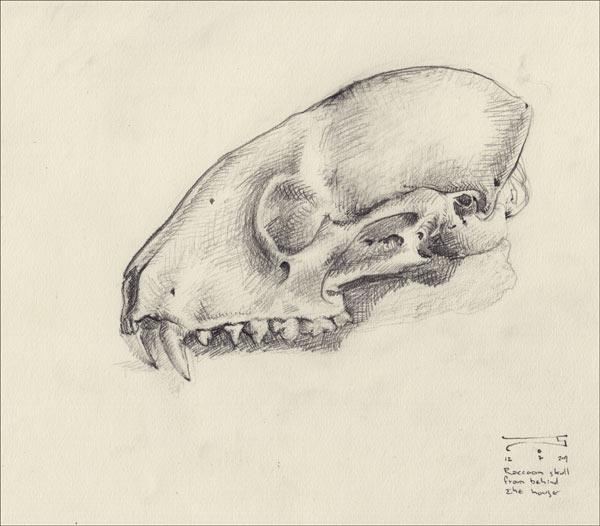 A raccoon skull, found behind the house last Autumn