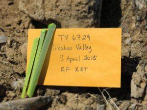 Figure 1: Samples of Joshua tree leaves for DNA extraction. (Ramona Flatz)