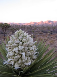 Figure 1: The source of the odor: A Joshua tree flower. (William Godsoe)