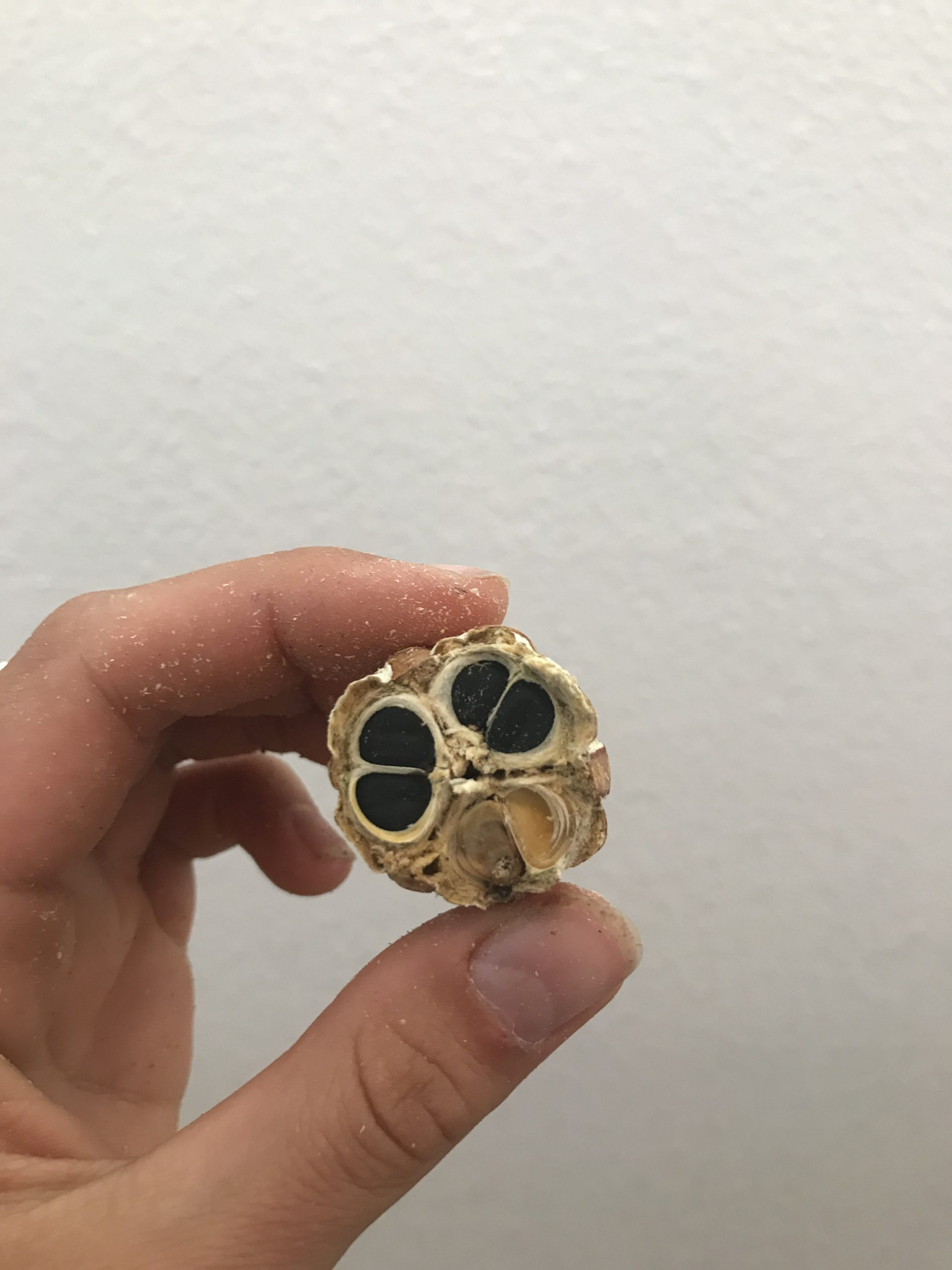 A Joshua tree fruit cut in cross section to reveal the black and white seeds inside