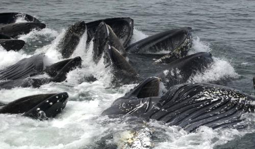 Humpback Whales Feeding 1
