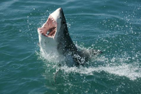 Shark in South Africa