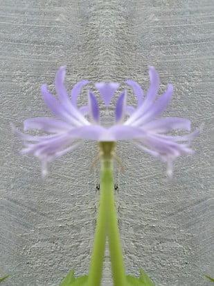 flor em espelho