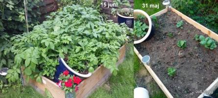 Potatisen växer