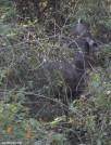 The Sambar deer looks injured