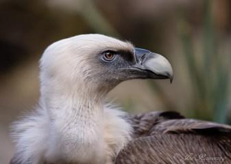 Vale Gier, Griffin Fulture