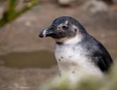 Pinguïn 238