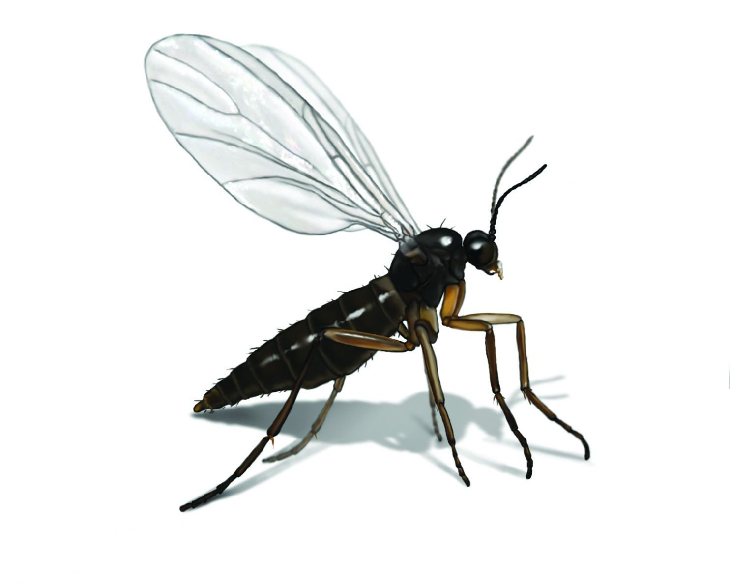 Best Gnat Illustration Charming How To Get Rid Of Gnats In With Pictures