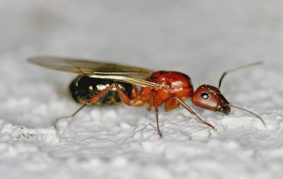 Best How To Get Rid Of Ants In Bedroom Carpet Carpet Vidalondon With Pictures