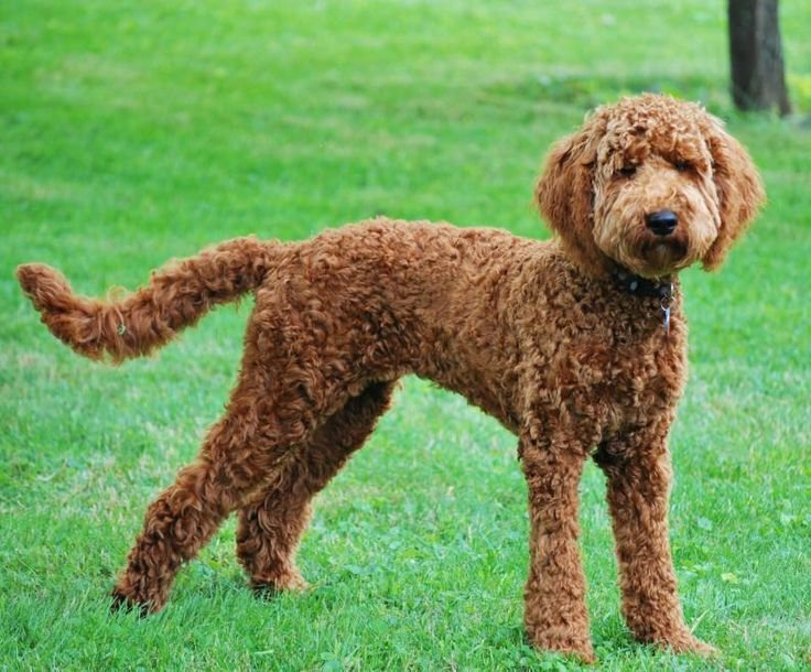 Free Labradoodle Haircuts For Summer Do You Do A Summer Wallpaper
